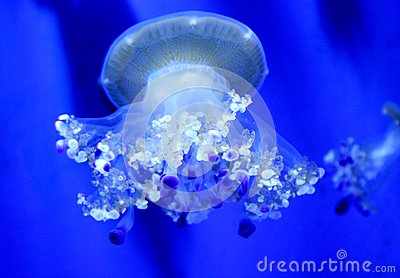 Jellyfish with tentacles