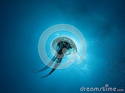 Jellyfish (U03)