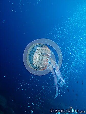 Jellyfish (U08)