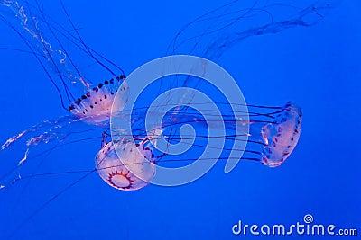 Jellys in ocean