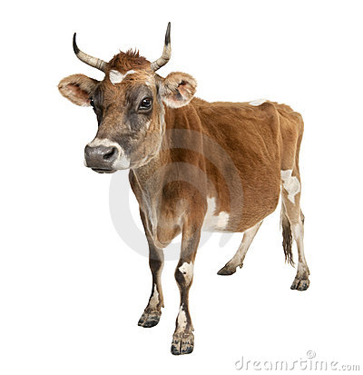 Free Jersey Cow (10 Years Old) Royalty Free Stock Photo - 8718675