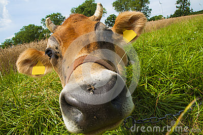 Jersey cow
