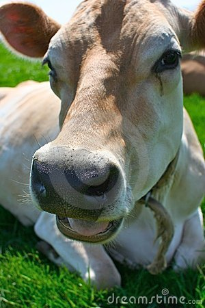 Free Jersey Cow Lying In The Grass Royalty Free Stock Photos - 2498878