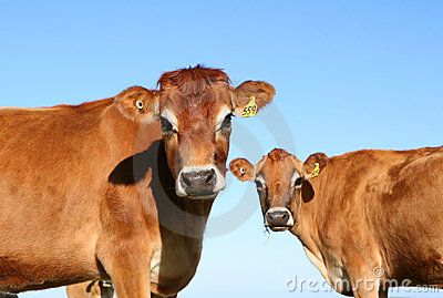 Jersey Dairy Cows Staring