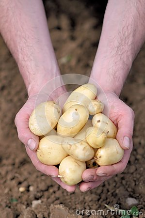 Jersey Royals Potatoes