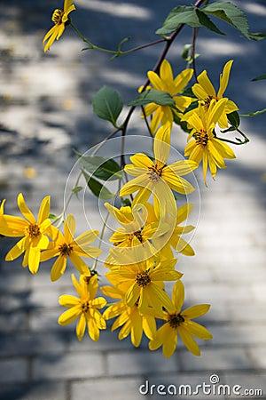 Free Jerusalem Artichoke, Yellow Flowers Royalty Free Stock Images - 59961929