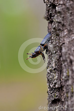 Jerusalem beetle on Tree
