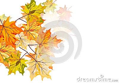 Jesień klon