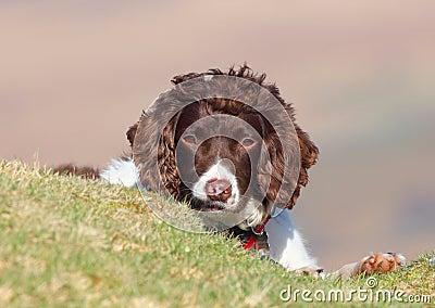 Jeter un coup d 39 oeil mignon de chien photo stock image 38927508 - Jeter un coup d oeil anglais ...