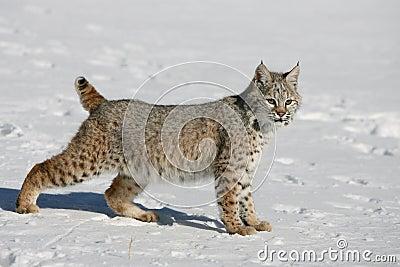 Jeune chat sauvage