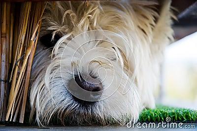 Jeune chien terrier triste