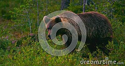 Jeune et espiègle fonctionnement de petit animal d'ours brun gratuit dans un marais banque de vidéos