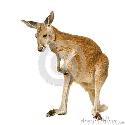 Jeune kangourou rouge (9 mois) - rufus de Macropus