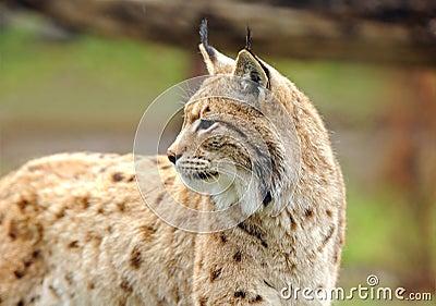 Jeune lynx au printemps
