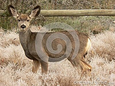 Jeunes cerfs communs de mule