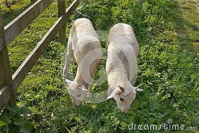 Jeunes moutons