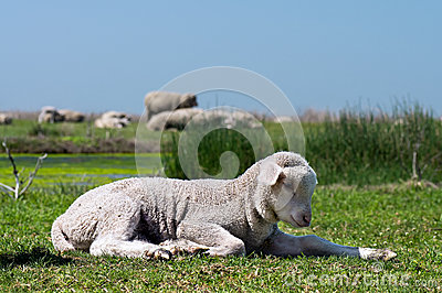 Jeunes moutons sur l herbe