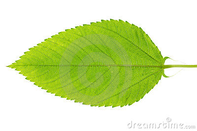 Jew s marrow leaf
