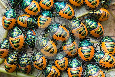 Jewel beetle swarm