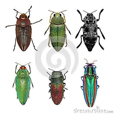 Free Jewel Beetles Royalty Free Stock Photo - 60761035
