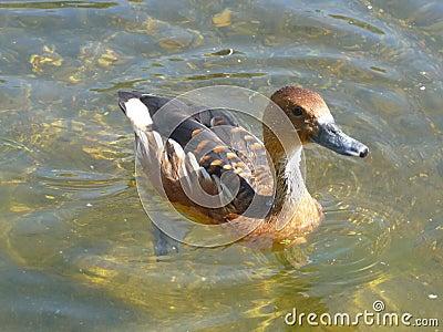 Jeziorny ptak