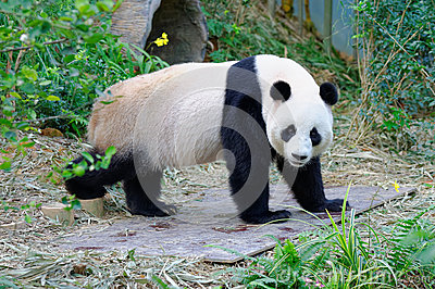 Jia Jia the female panda walking in its enclosure