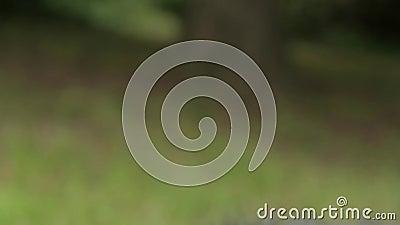 Jib strzelający francuski pasterski pies zbiory