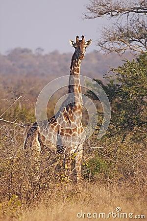 Jirafa alerta en bushveld espinoso