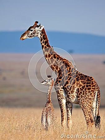 Jirafa de la mama y su bebé en sabana