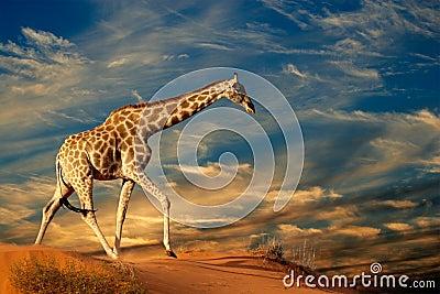 Jirafa en la duna de arena