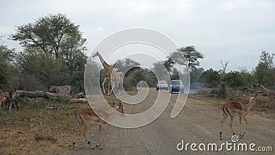 Jirafa que cruza el camino Safari en el parque nacional de Kruger, destino importante de la fauna del viaje en Suráfrica almacen de video