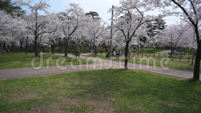 Cherry blossom park. Joetsu park stroll during cherry blossom stock video