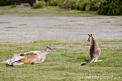 Joey watches while adult kangaroo scratches