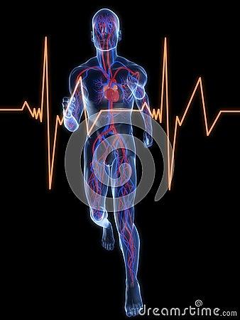 Free Jogger - Vascular System Royalty Free Stock Image - 8855546