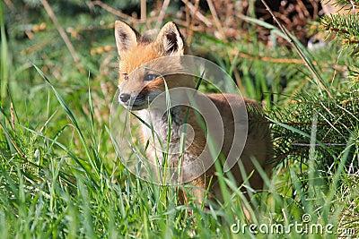 Jogo selvagem do Fox vermelho