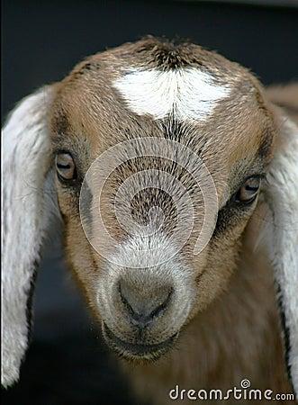 Jong geitje 6 van Nubian