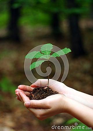 Jonge eiken boom