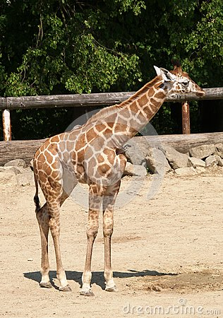 Jonge giraf in DIERENTUIN
