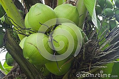 Jonge kokosnoten.
