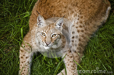 Jonge lynx