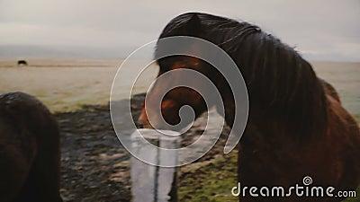 Jonge man voedt en stroopt de bruine IJslandse paarden Reizigers van landschap en dieren op het bedrijf stock videobeelden