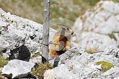 Jonge marmot
