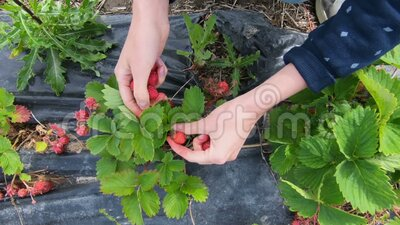 Jonge vrouw die aardbeien in het veld oogst stock footage