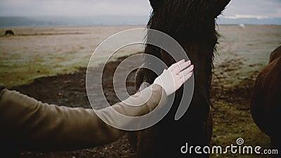 Jonge vrouw die het bruine IJslandse paard voedt en stroopt Reizigers die genieten van landschap en dieren op de boerderij stock videobeelden