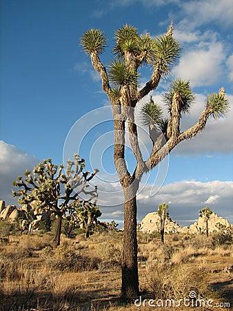 Joshua Park tree