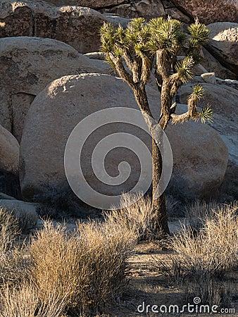 Free Joshua Tree National Park Stock Image - 36929231