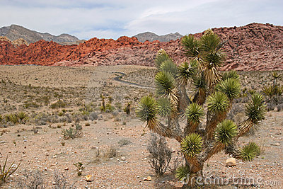 Joshua Tree at Red Rock Canyon