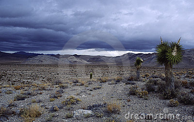 Joshua trees in Mojave desert