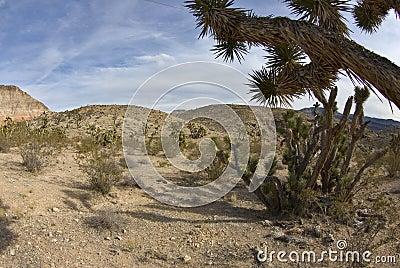 Joshua trees in the Southwest desert