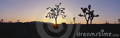 Joshua trees at sunset,